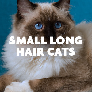 Small Long Hair Cats