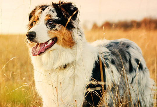 how to groom an australian shepherd