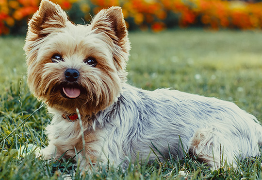 How To Groom A Yorkie Furminator