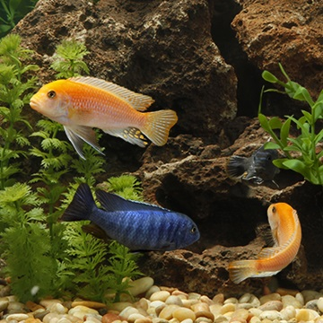 How to set up a tank for cichlids